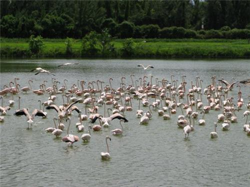 Flamingos at Hialeah Park.